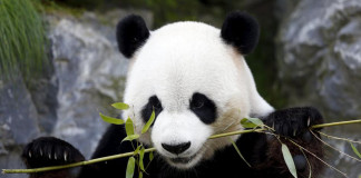 Xing Hui, a 6-year-old giant panda born in China, eats bamboo at the Pairi Daiza wildlife park in Brugelette, Belgium September 28, 2015. Belgian researchers are examining the excrements of giant pandas to understand how the bears can digest tough bamboo, hoping for clues on how to develop new generations of biofuel. REUTERS/Francois Lenoir