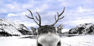 Wild Reindeer Foil Wind Farm Plan In Southern Norway